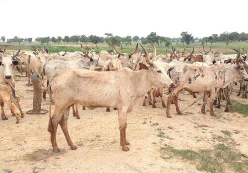 Cattles ranch in Kaduna. Photo: The AfricaPaper/Mohammad Ibrahim | The AfricaPaper